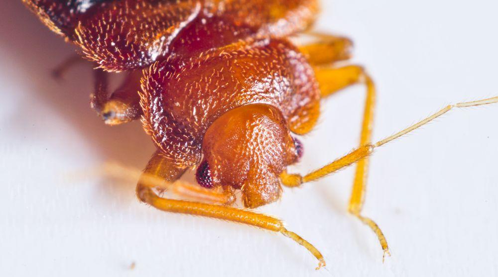 Bed Bug NC: Raleigh, NC