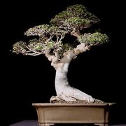... Photo Of Dallas Bonsai   Garland, TX, United States ...