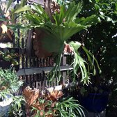 Photo Of Bellefontaine Nursery Pasadena Ca United States Beautiful Staghorn Ferns