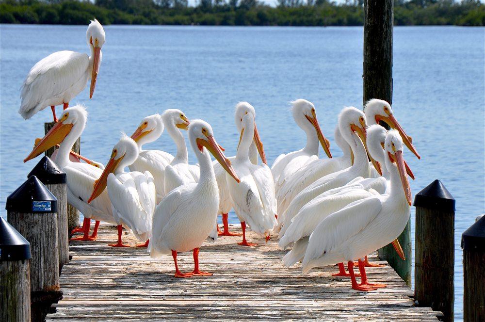 Pine Island Boat Tours: 8421 Main St, Bokeelia, FL