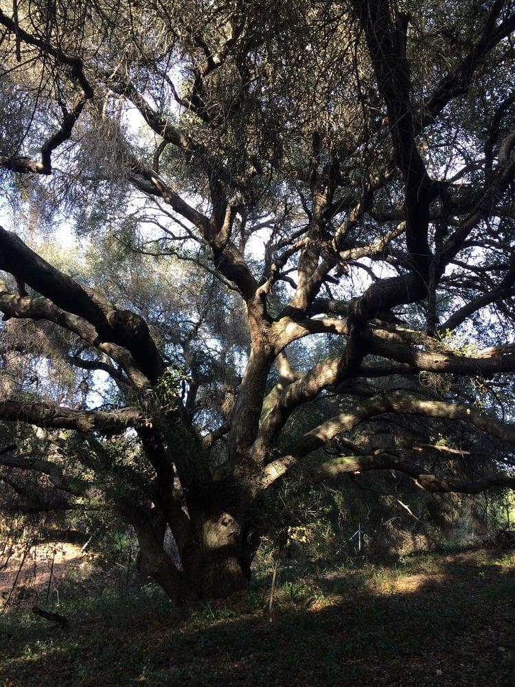 100 Yr Old Oak Tree Yelp