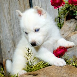 Loyal Siberian Husky 12 Photos Pet Stores 2945 Harllees Bridge