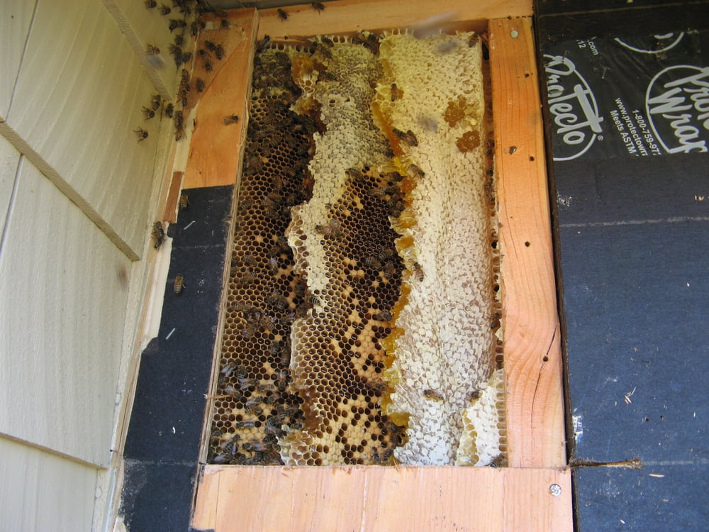 Tiburon bee hive removed from home wall and relocated to Black Point