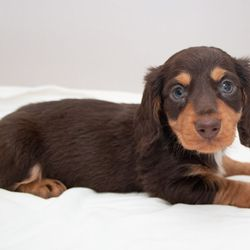 Down Town Dachshunds - Request a Quote - 15 Photos - Pet