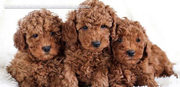 Pleasant Home Puppies - Request a Quote - Pet Adoption - Des Moines