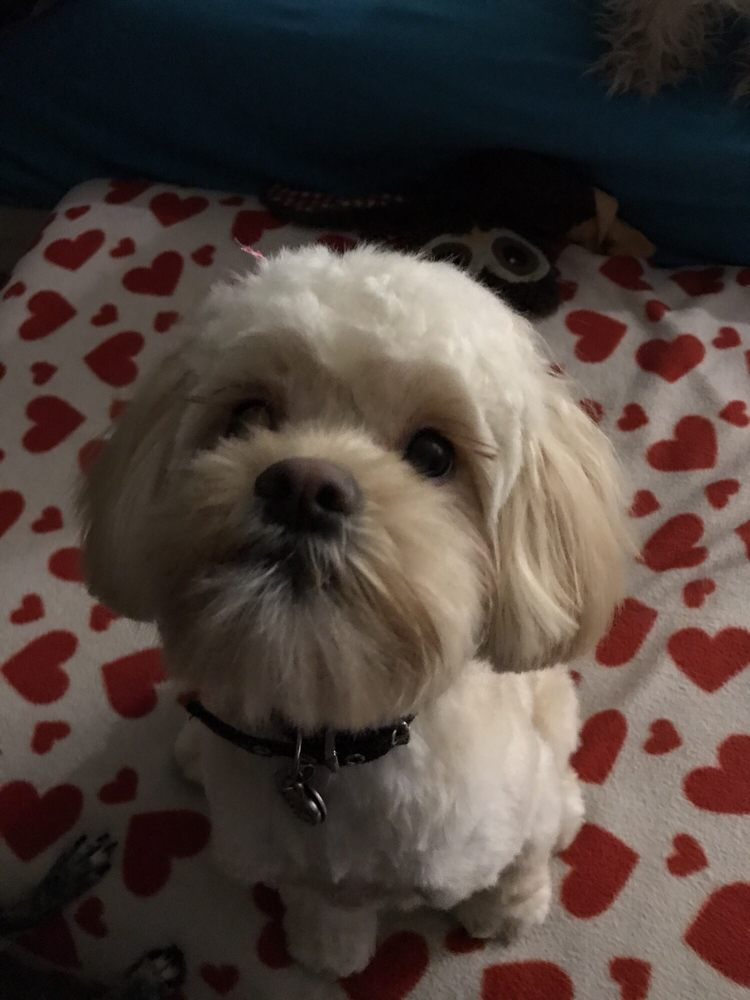 Daisy Shihtzu Toy Poodle Mix Haircut By Yvonne Yelp