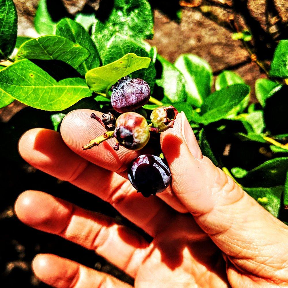 Claire Berries Blueberry Farm: 18751 Lake Pickett Rd, Orlando, FL