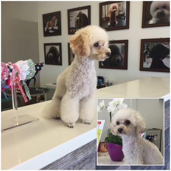 Pooch pride grooming 121 photos 22 reviews pet groomers 4719 photo of pooch pride grooming torrance ca united states toy poodle broccoli winobraniefo Image collections