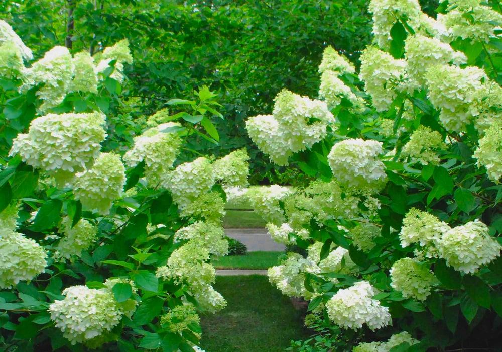 Hydrangea 39 limelight 39 lush summer blooms yelp for King garden designs