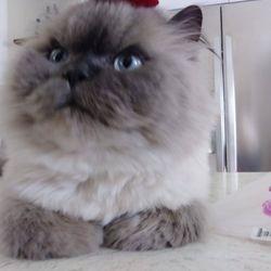 Persian Kittens - 31 Photos - Pet Adoption - Chicago, IL