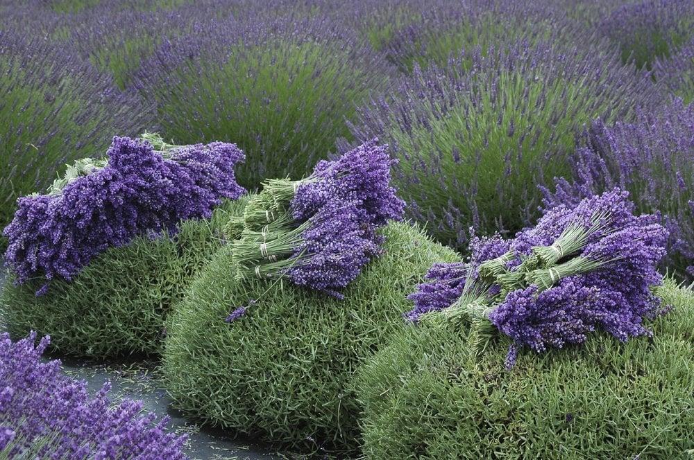 Buy mature lavender plants