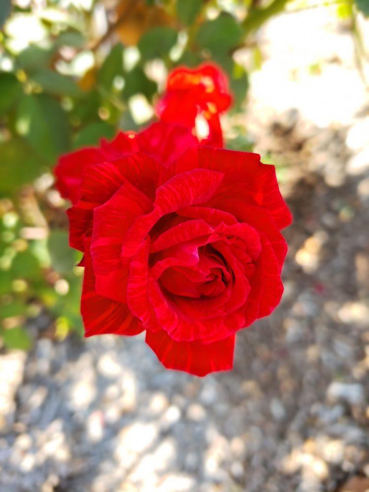 Gemini Peach and Rose Farm