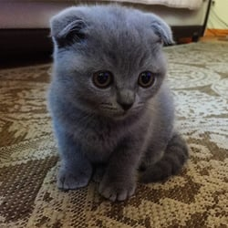 Chinchilla Cat For Sale Australia