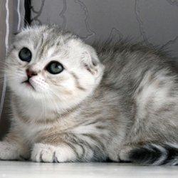 Scottish Fold Kittens - 17 Photos - Pet Breeders - 343 East