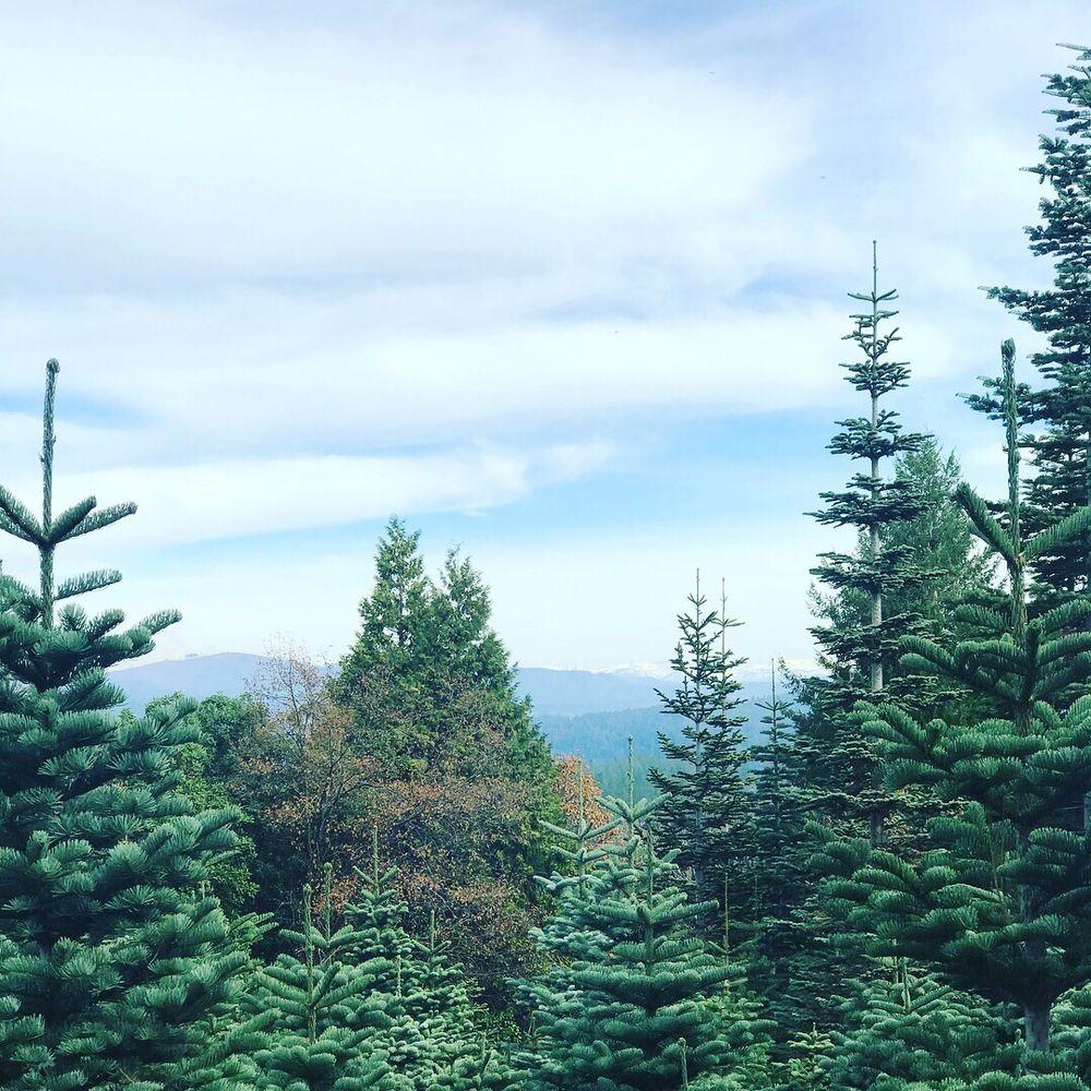 Christmas Tree Farm Southern California: Sierra Magnifica Christmas Tree Farm