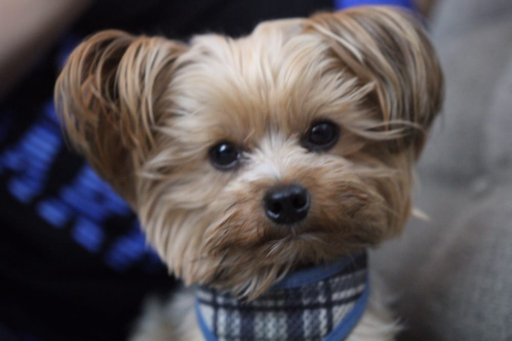 We Took Our 3 Year Old Teacup Yorkie Mrggs Here About 3 Months