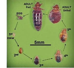 Bed Bug Life Cycle Yelp