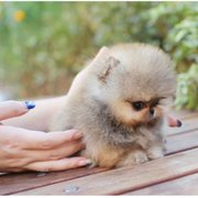 Unique Teacup Pups - 24 Photos - Pet Breeders - Calabasas