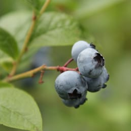 Photo Of Second Nature Garden Design   Portland, OR, United States.  Blueberries Are