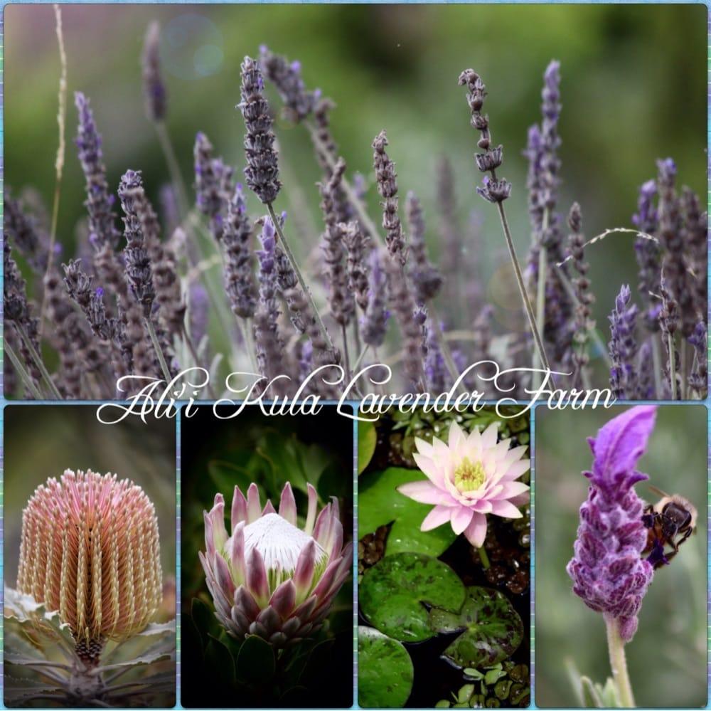 Ali'i Kula Lavender: 1100 Waipoli Rd, Kula, HI