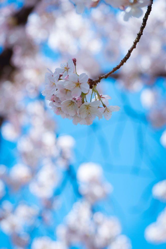 Cherry Blossoms @ University of Washington