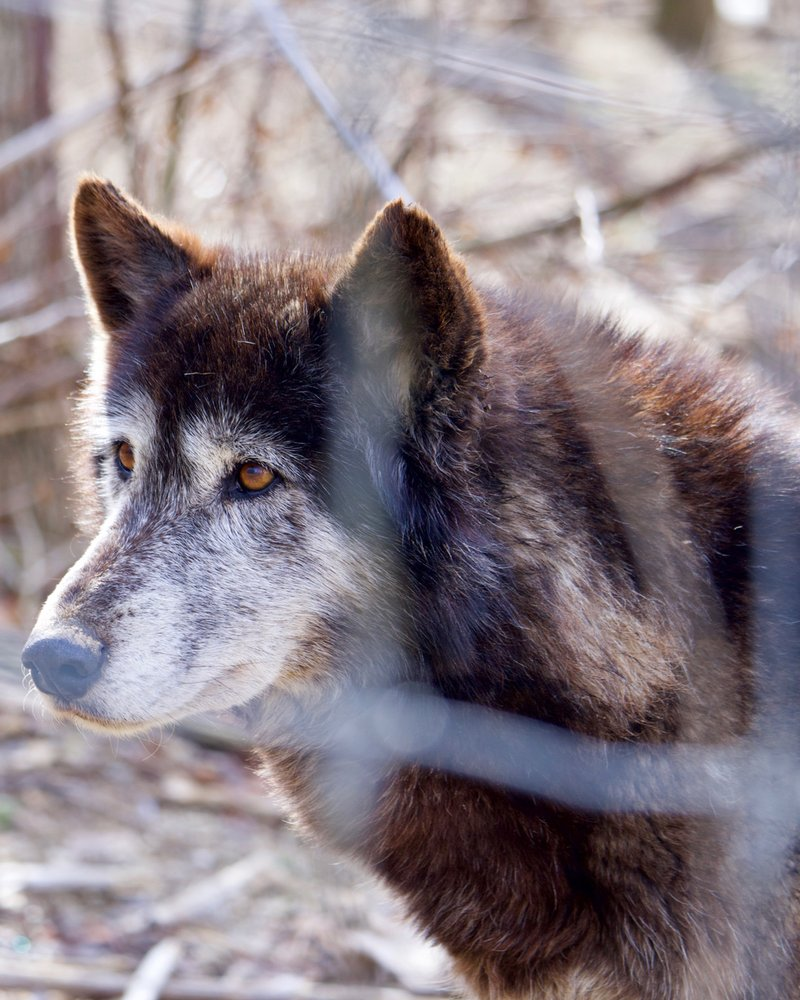 The Wolf Sanctuary of PA: 465 Speedwell Forge Rd, Lititz, PA