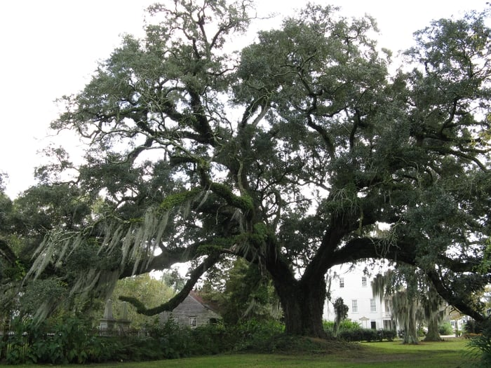 Tree On Grounds At Madewood Yelp