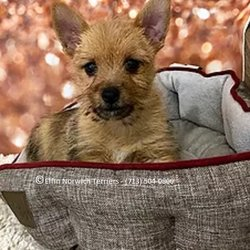 Elfin Norwich Terriers - Request a Quote - Pet Breeders - Colbert