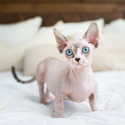 Yelp Reviews for Peach Fuzz Sphynx - 81 Photos & 14 Reviews - (New
