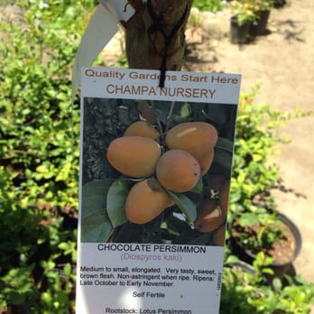 Photo Of Champa Nursery El Monte Ca United States Chocolate Persimmon