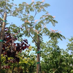 Photo Of Baron Brothers Nursery Camarillo Ca United States Albizia Tree I