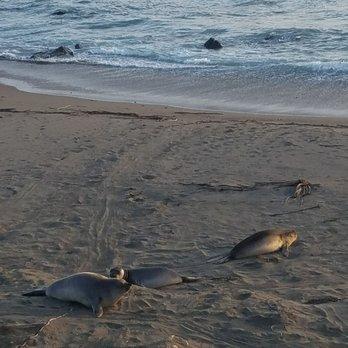 friends of the elephant seals at piedras blancas 399 photos