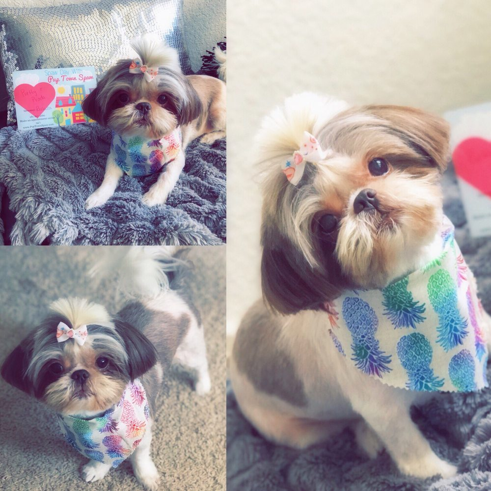 Camera Ready Shih Tzu Short Summer Cut With Top Knot Ponytail Done