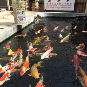 East bay koi 98 photos 30 reviews local fish stores for Koi fish retailers