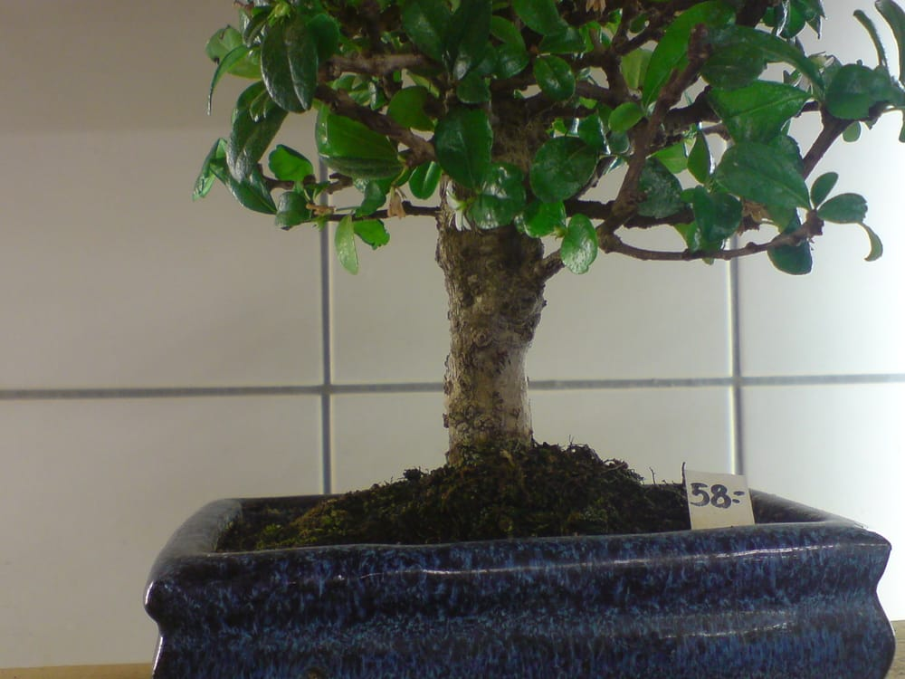 fotos zu japan bonsai berlin yelp. Black Bedroom Furniture Sets. Home Design Ideas