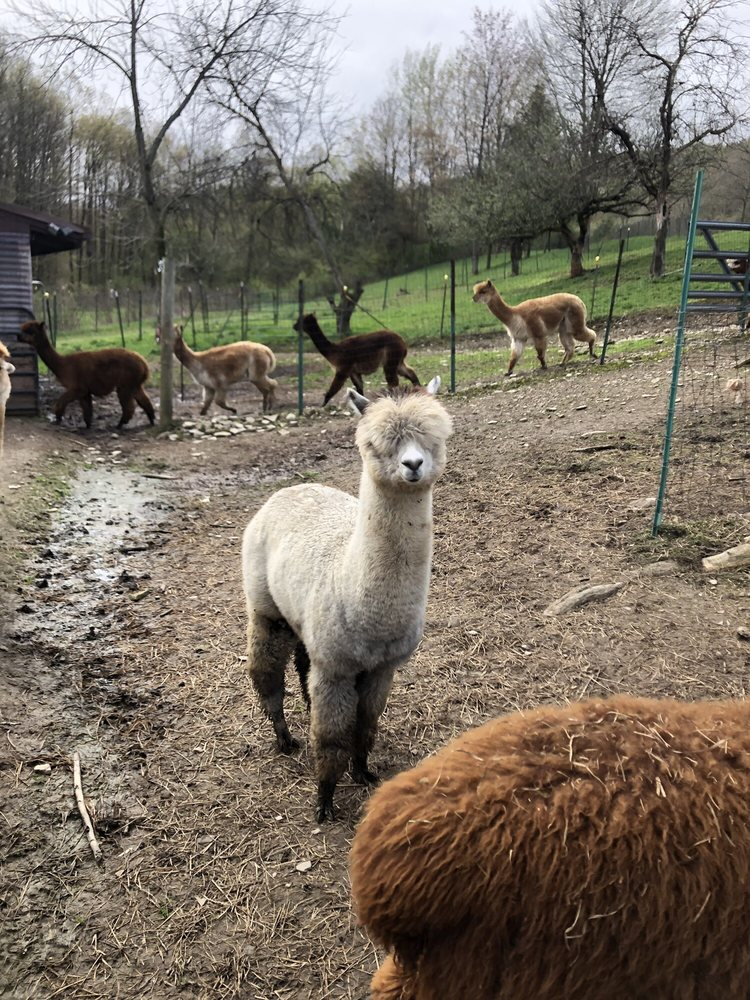 Mager Mountain Alpacas: 69 Mountain View Dr, Little Valley, NY