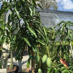 Photo Of Riverland Nursery Fort Myers Fl United States Beautiful Mango Tree