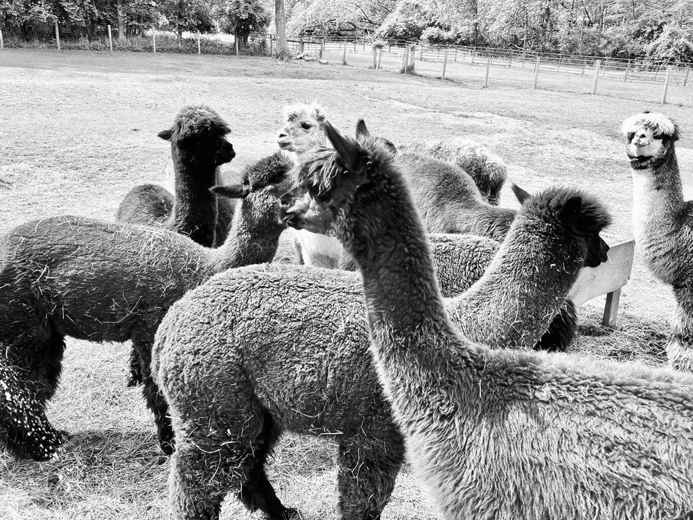Trotter Hill Alpacas: 110 Locksley Rd, Glen Mills, PA