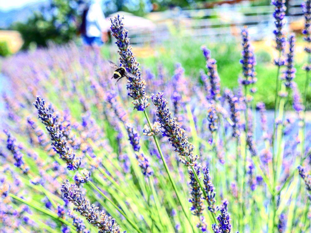 Ojai Lavender Farms: 11550 Topa Vista Rd, Santa Paula, CA