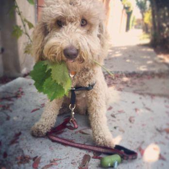 Australian Labradoodles - 35 Photos & 28 Reviews - Pet