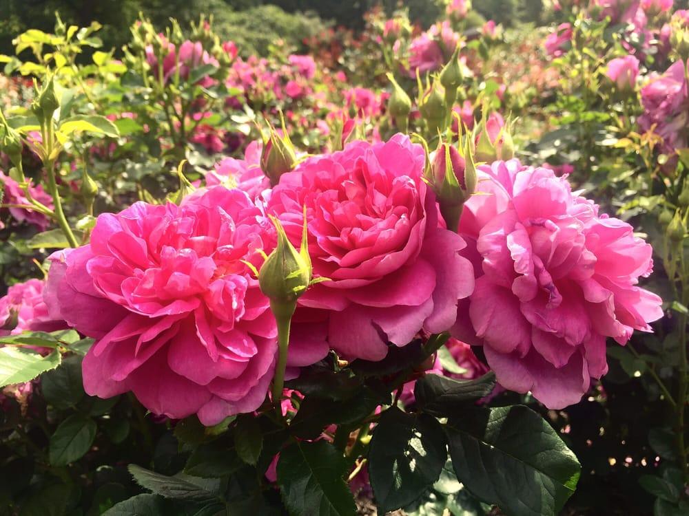 International Rose Test Garden 1722 Photos 443 Reviews