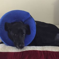 Luxury Perineal Hernia Dog Surgery Cost