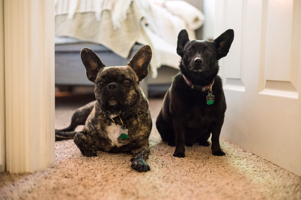 french bulldog dachshund mix took my schipperke dachshund mix and french bulldog for a 158