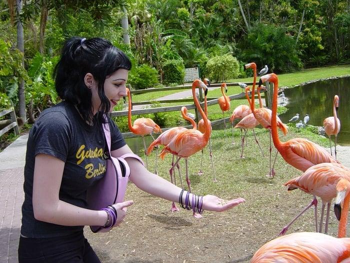 Feeding Flamingos At Jungle Gardens Sarasota Fl Yelp