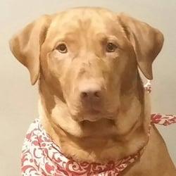 Mother Pupper Labradors - Pet Breeders - 2947 N Horseshoe Dr