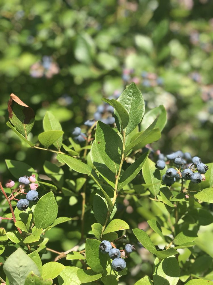 Joe's Blues Blueberries at Moss Funnel Farms: 61687 34th Ave, Bangor, MI