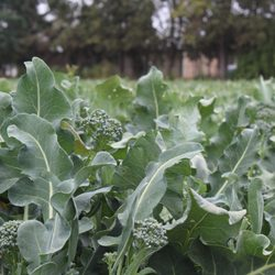 Photo Of Lakeside Organic Gardens Watsonville Ca United States Hy Baby Broccoli