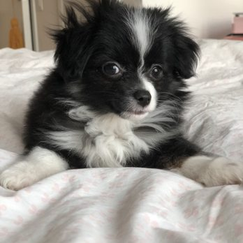 Misty's Toy Aussies - Request a Quote - Pet Breeders - 1