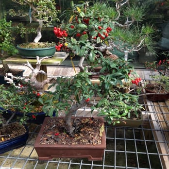 Photo Of Tea Garden Nursery Arlington Tx United States Outdoor Bonsai