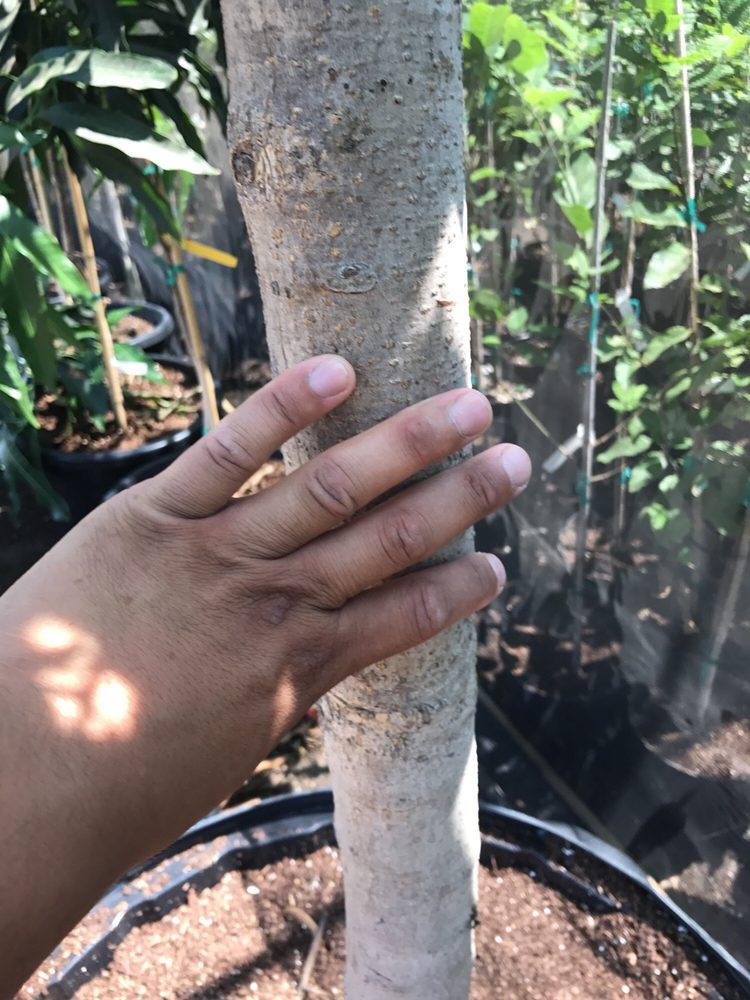This Is A 10yr Old Okrung Mango Tree Its In A Giant Pot My Guess